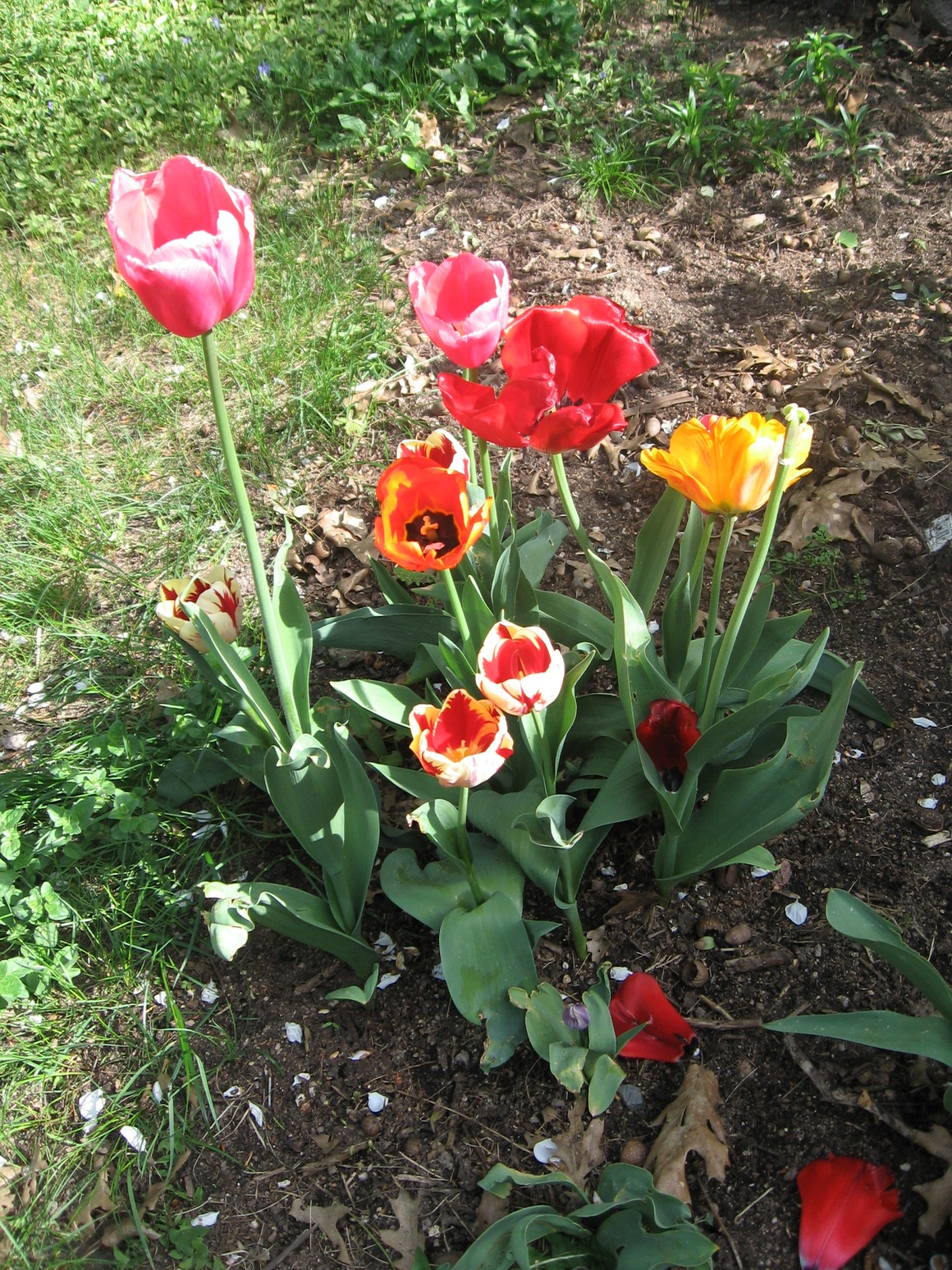 shawn tulips 5